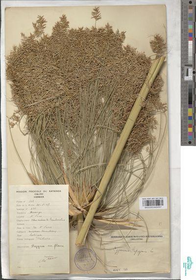 Cyperus papyrus L.