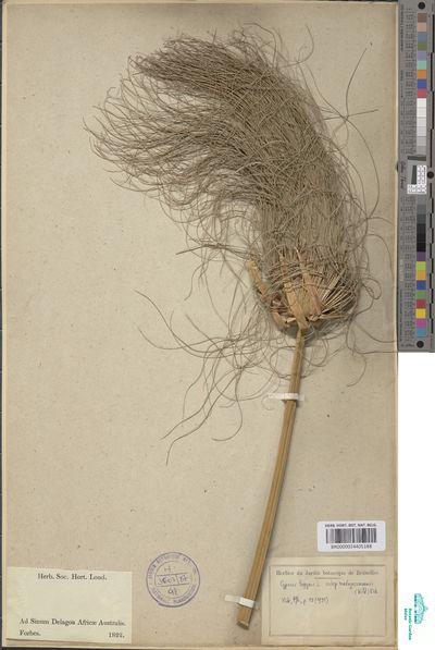 Cyperus papyrus L. subsp. madagascariensis (Willd.) Kük.