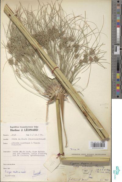 Cyperus papyrus L. subsp. niliacus Tournay