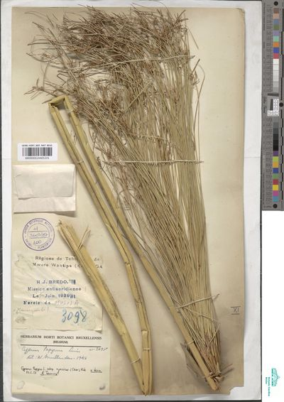 Cyperus papyrus L. subsp. nyassicus Chiov.