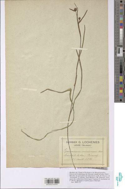 Sparganium natans L.