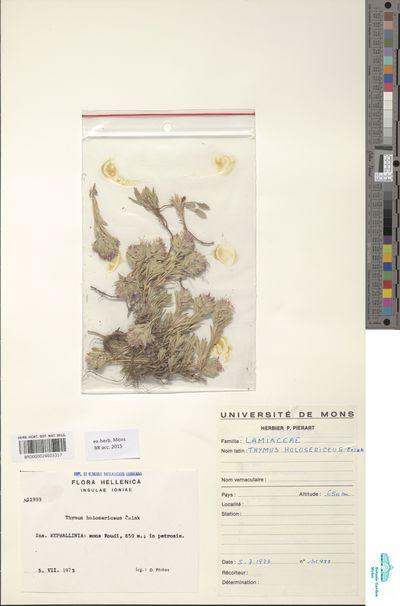 Thymus holosericeus Celak.