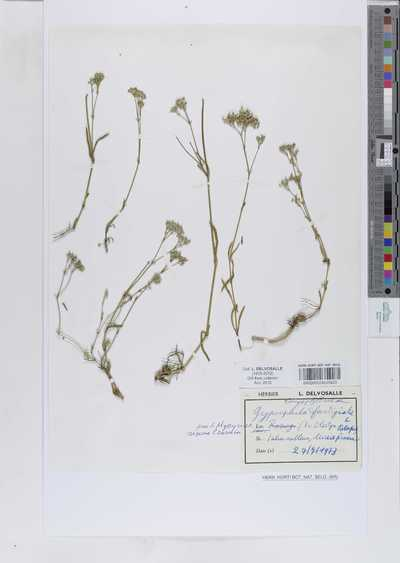 Gypsophila fastigiata Willk.