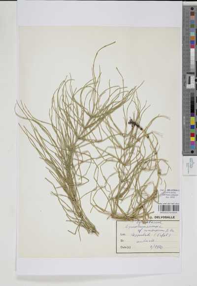 Equisetum arvense L. f. nemorosum A.Braun ex Döll