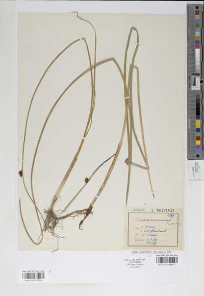 Schoenoplectus americanus (Pers.) Volkart ex Schinz & R.Keller