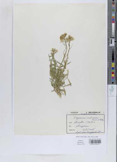 Erysimum creticum Boiss. & Heldr.