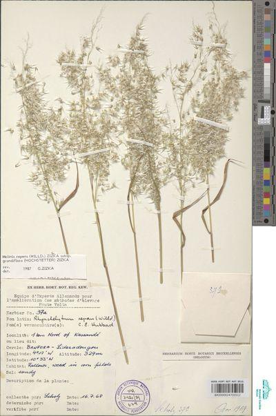 Melinis repens (Willd.) Zizka subsp. grandiflora (Hochst.) Zizka