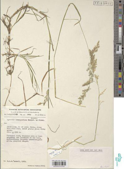 Polypogon schimperianus (Hochst. ex Steud.) Cope