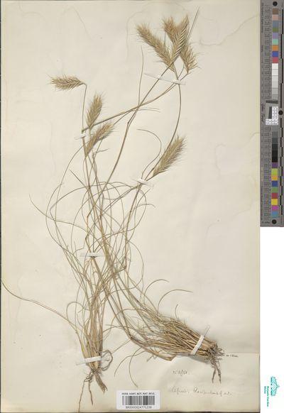 Rytidosperma disticha (Nees) Cope