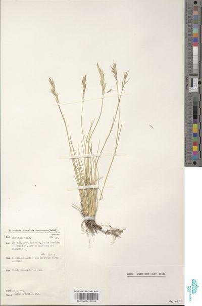Rytidosperma subulata (A.Rich.) Cope