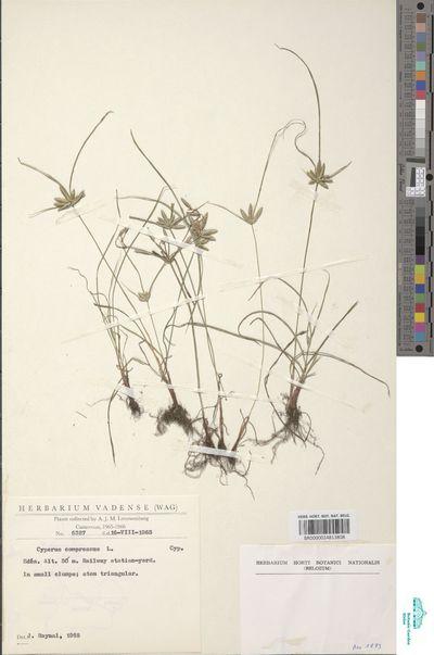 Cyperus compressus L.