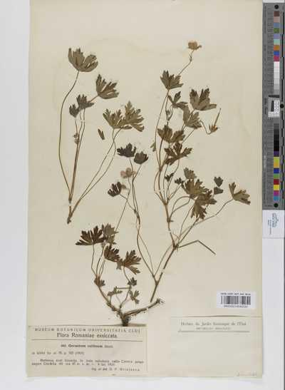 Geranium collinum Stephan ex Willd.