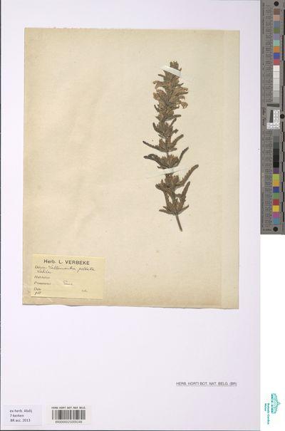 Lallemantia peltata Fisch. & C.A.Mey.