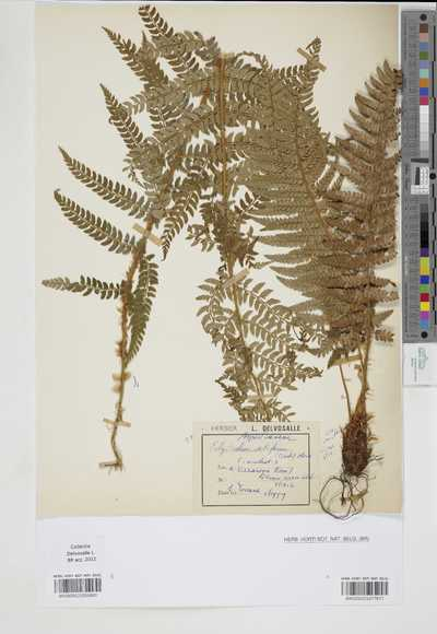 Polystichum setiferum (Forssk.) Moore ex Woyn.