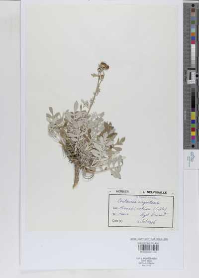 Centaurea argentea L.