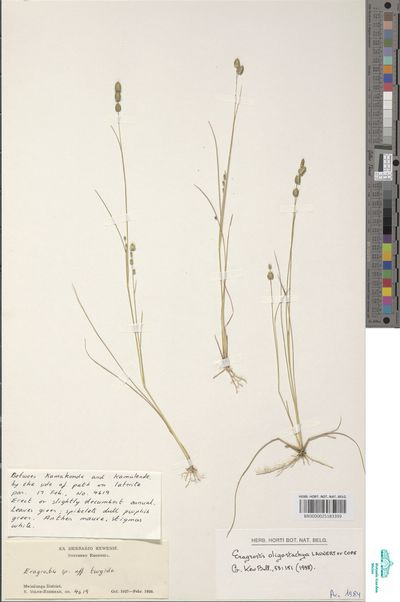 Eragrostis oligostachya Launert ex Cope