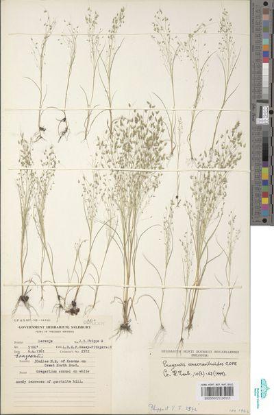 Eragrostis anacranthoides Cope