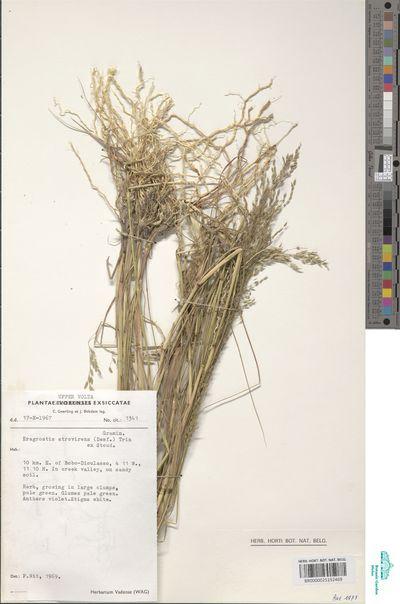 Eragrostis atrovirens (Desf.) Trin. ex Steud.