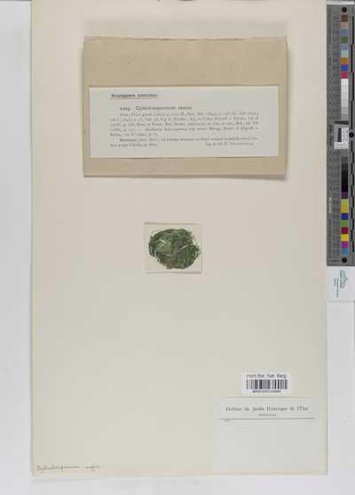 Cylindrospermum majus Kützing