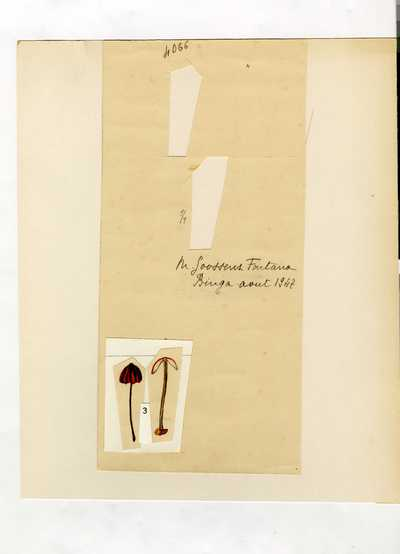 Marasmius lilacinoalbus Beeli var. lilacinocarmineus Singer