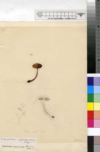 Pulveroboletus rufobadius (Bres.) Singer