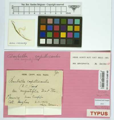 Barbella capillicaulis (Renauld & Cardot) Cardot var. angustifolia Dixon & Thér.
