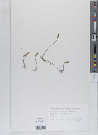 Sedum tenuifolium (Sibth. et Sm.) Strobl