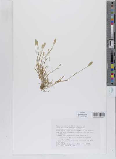 Phleum subulatum (Savi) Asch. subsp. ciliatum (Boiss.) Humphries