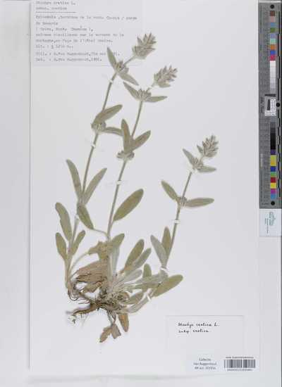 Stachys cretica Sieber ex Boiss. subsp. cretica