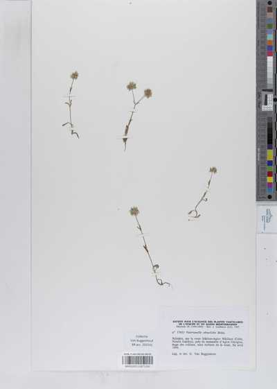 Valerianella obtusiloba Boiss.