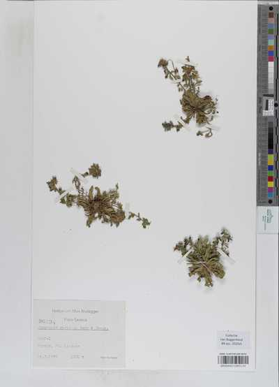 Campanula radicosa Bory & Chaub.