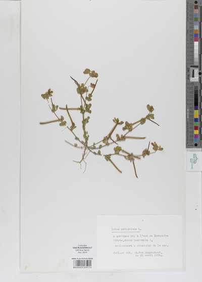Lotus peregrinus Burm.f.