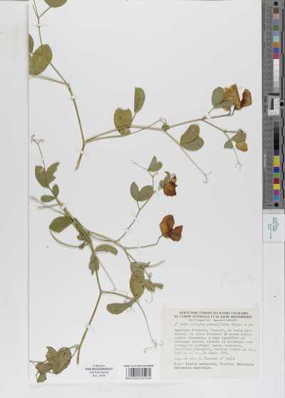 Lathyrus grandiflorus Láng