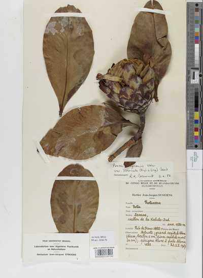 Protea angolensis Welw. var. divaricata (Engl. & Gilg) Beard