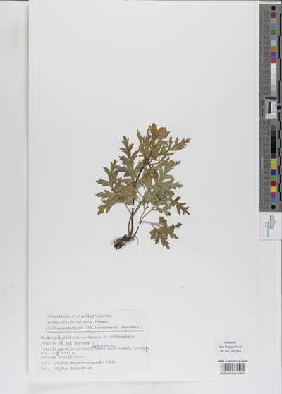 Pulsatilla alpina L. Delarbre subsp. apiifolia (Scop.) Nyman (subsp. sulphurea (DC) Ascherson & Graebner)