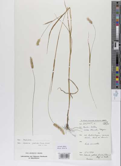 Setaria pallide-fusca (Schumach.) Stapf & Hubbard