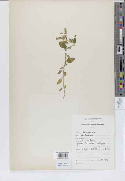 Heliotropium sp.