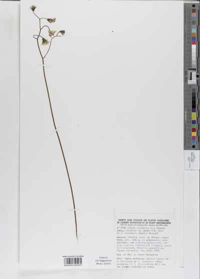 Crepis praemorsa (L.) Walther subsp. dinarica (Beck) P.D.Sell