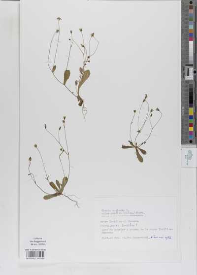 Crepis neglecta L. subsp.cretica (Boiss.) Vierh.