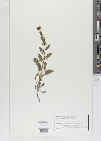 Sisymbrium loeselii L.