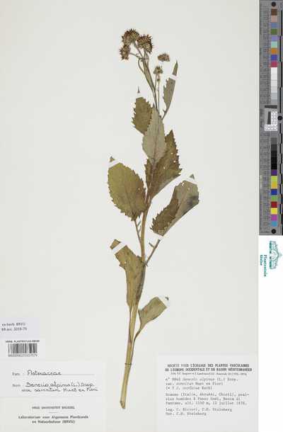 Senecio alpinus (L.) Scop. var. samnitum Huet ex Fiori