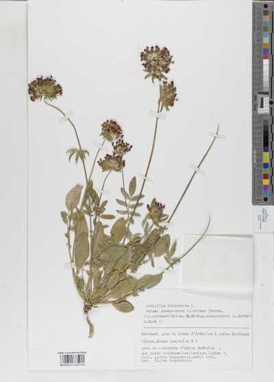 Anthyllis vulneraria L.subsp. praepropera (A. Kerner) Bornm.