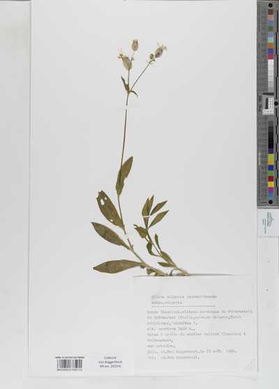 Silene vulgaris (Moench) Garcke subsp. vulgaris
