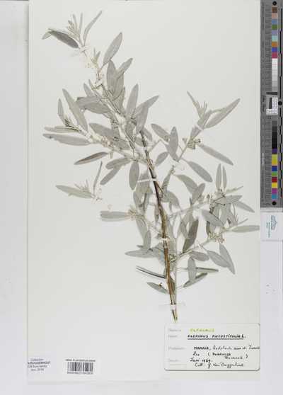 Elaeagnus angustifolia L.