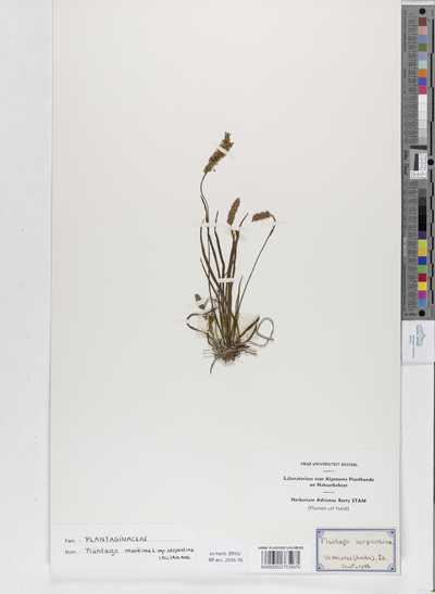 Plantago maritima L. subsp. serpentina (All.) Arcangeli
