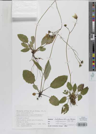 Hieracium bifidum Kit. ex Hornem. (Fr.) Z. subsp. subcaesium