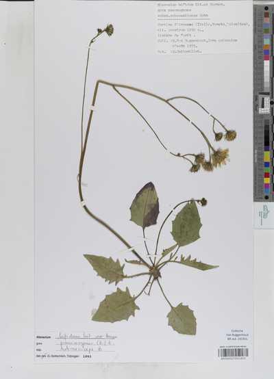 Hieracium bifidum Kit. ex. Hornem. subsp. subcaesiiceps Zahn