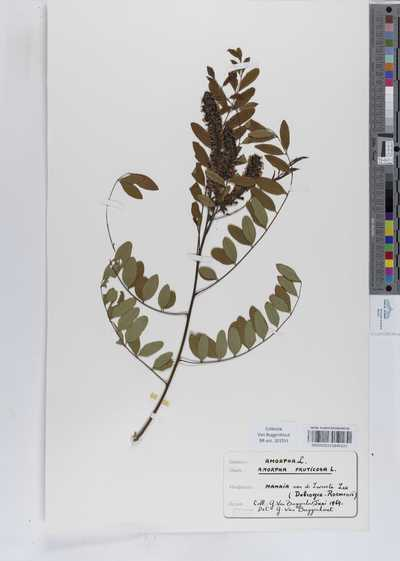 Amorpha fruticosa L.