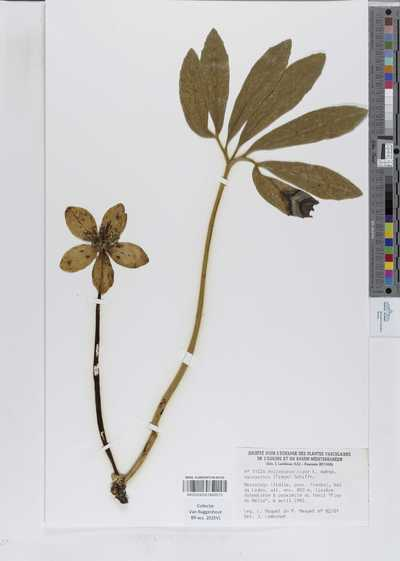 Helleborus niger L. subsp. macranthus (Freyn) Schiffn.