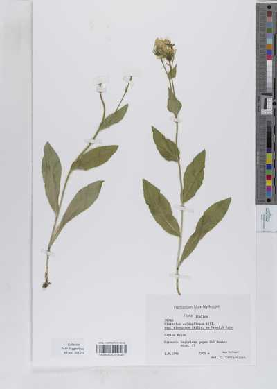 Hieracium valdepilosum Vill. subsp. elongatiforme (Zahn) Greuter